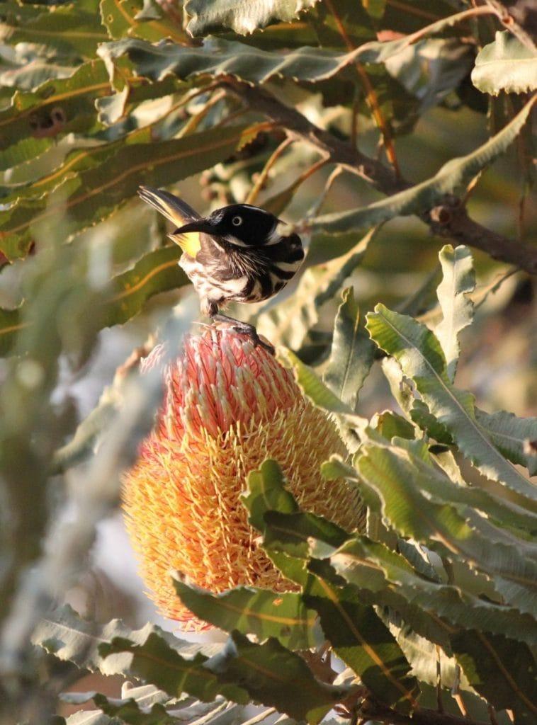Honey eater on Firewood Banksia