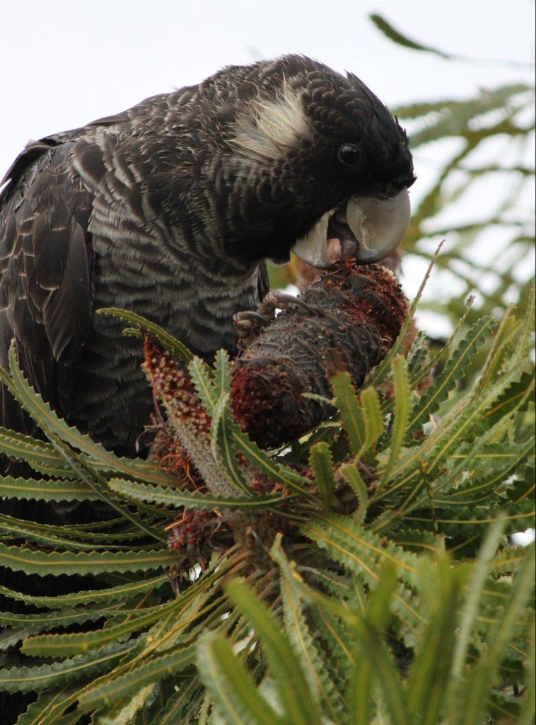 White Tail Black Cockatoo on Biara